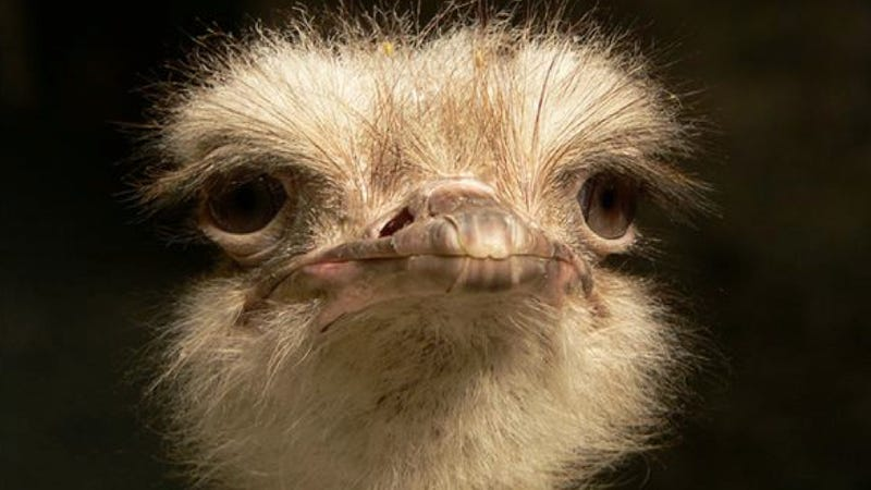 Illustration for article titled That ostrich over there? It is totally into you.
