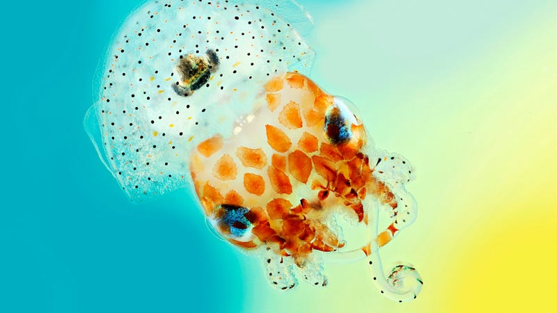 A bioluminescent Hawaiian bobtail squid. (Credit: Mark R Smith, Macroscopic Solutions)