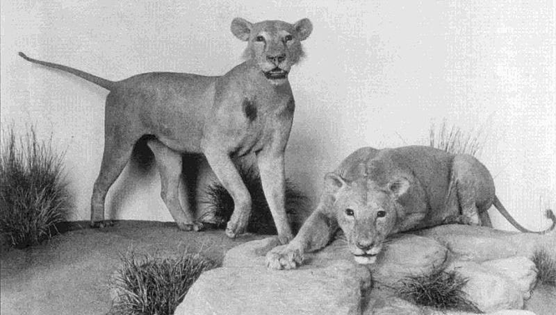 Illustration for article titled Here's Part of the Reason Why These Male Lions Are Maneless