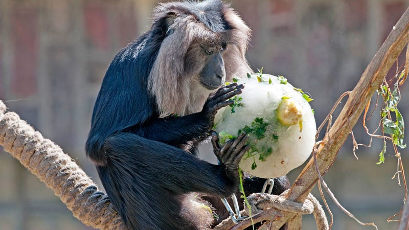 Illustration for article titled Adorable Photos of Zoo Animals Eating Popsicles During Heatwave