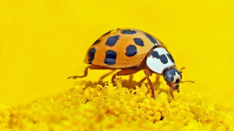 Asian lady beetle.