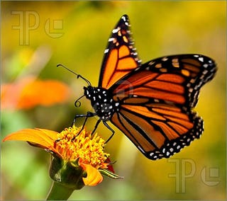 Illustration for article titled Monarch butterflies; a teeny tiny bit of good news