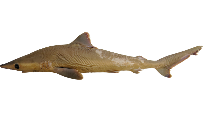 A preserved 'lost shark' specimen