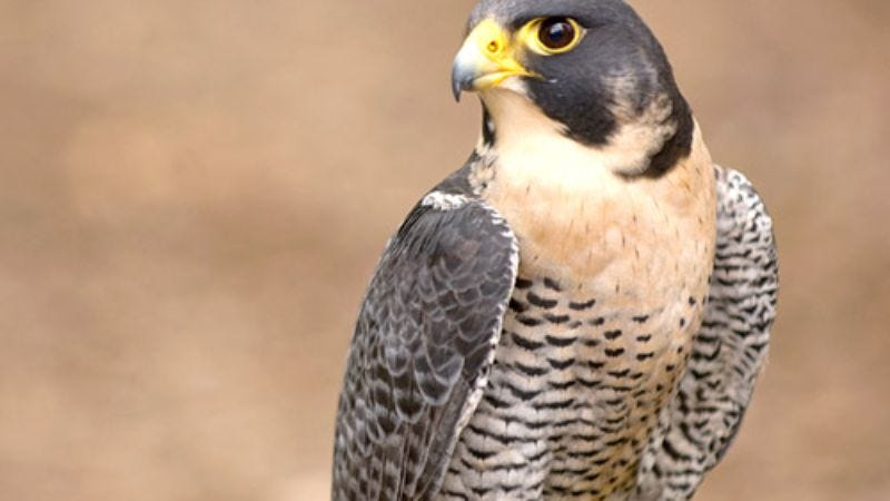You'll be surprised where peregrine falcons are hunting in Essex ...