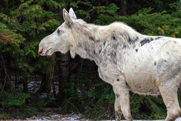 Killing of Rare Canadian 'Spirit' Moose Sparks Outrage, Sadness and a Search for Those Responsible