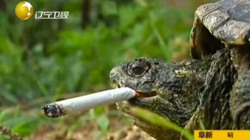 Illustration for article titled There's a Cigarette Smoking Turtle in China