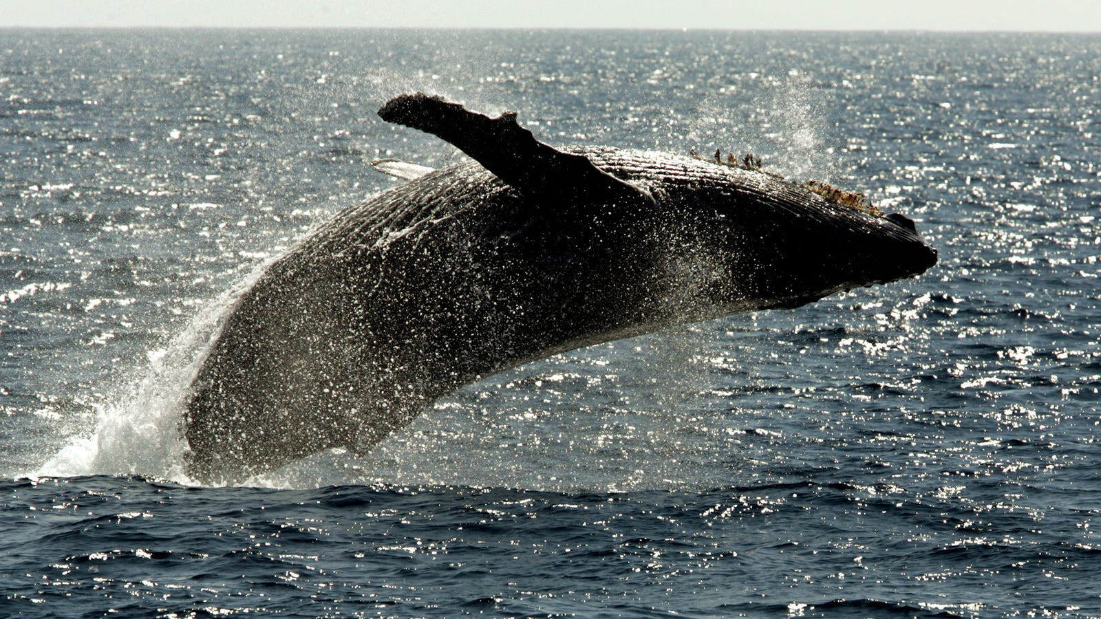 Why Do Humpback Whales Protect Other Species from Killer Whales?