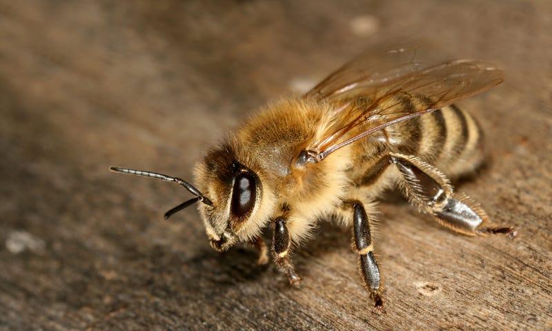 A Carniolan honey bee.