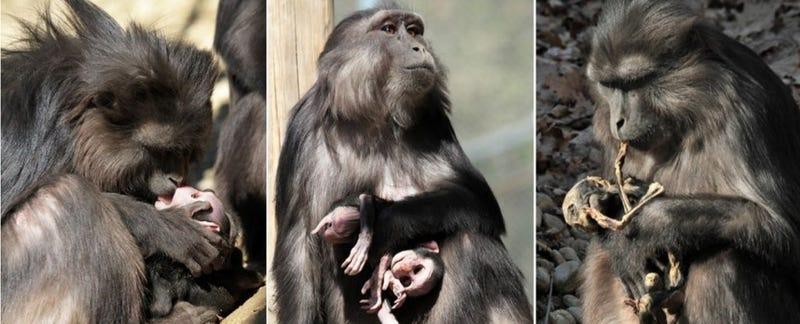 Imagen: De Marco et al./Primates