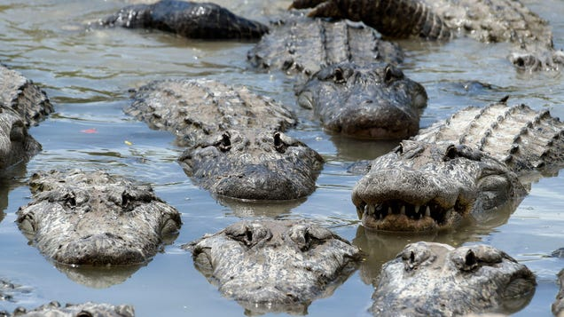 American Alligators' Sex Ratios Could Go Haywire