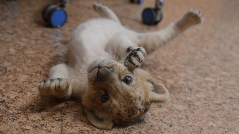 Illustration for article titled NEW CAT ALERT: First American Baby 'Liligers' Born at Oklahoma Zoo