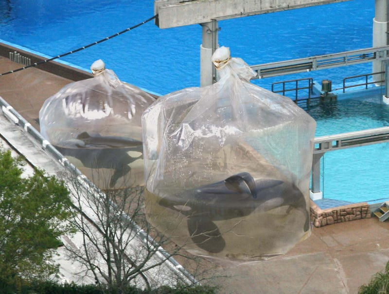 Illustration for article titled SeaWorld Employees Place Orcas In Plastic Bags Of Water While Cleaning Tanks