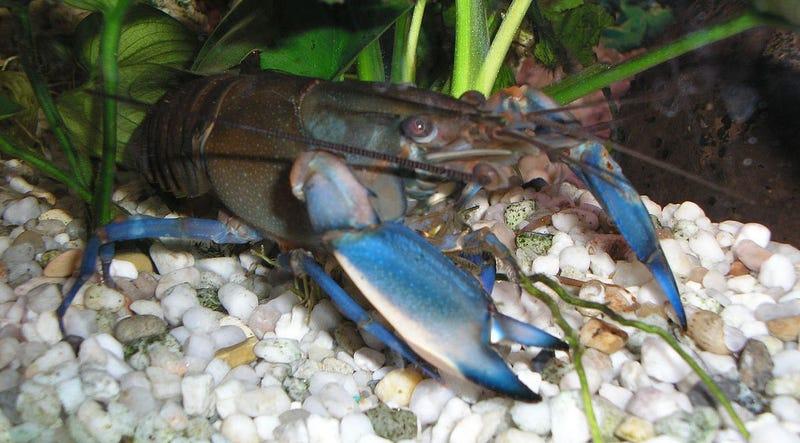 Illustration for article titled Descubren que los cangrejos de río pueden fabricar sus propias neuronas