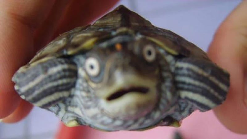 Illustration for article titled Sale de fiesta y acaba en urgencias con una tortuga en la vagina sin saber cómo llegó ahí