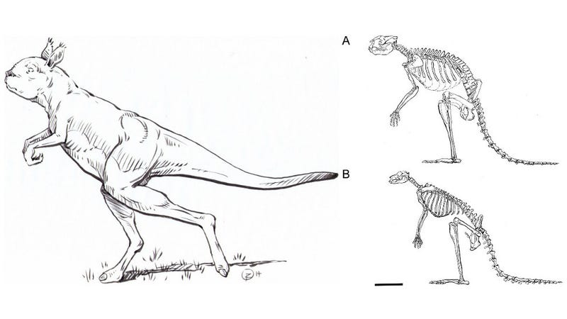 Illustration for article titled This Gigantic Ancient Kangaroo Didn't Hop — It Actually Walked