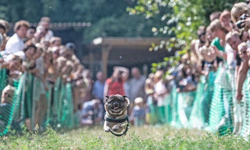 Illustration for article titled I'm Inspired by Emma, a Very Fast Pug Who is the 'Usain Bolt' of Pugs