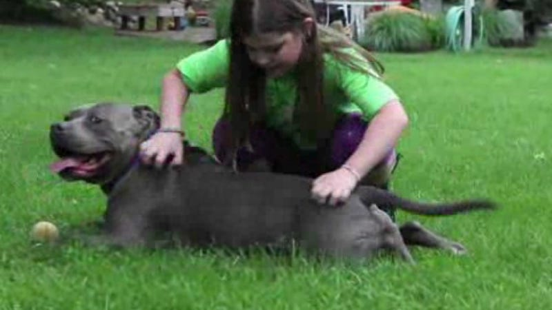 Illustration for article titled Therapy Pit Bull Helps Girl Get Ready for Fourth Grade at Sandy Hook