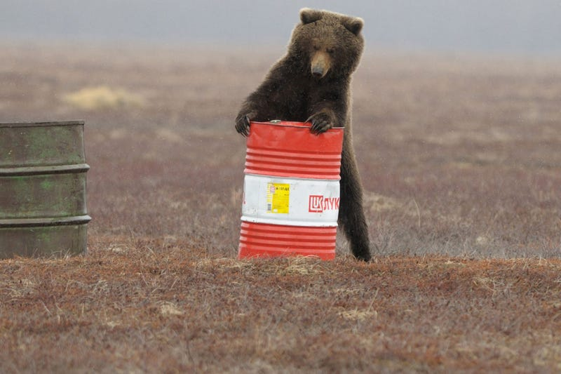 Illustration for article titled Even the Bears are Petrol Heads in Russia