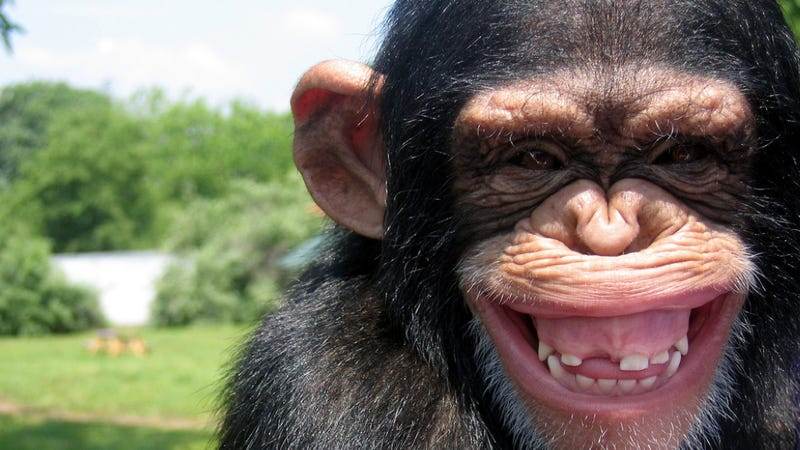 Illustration for article titled Researchers have identified poo-flinging as a sign of intelligence (in chimpanzees)