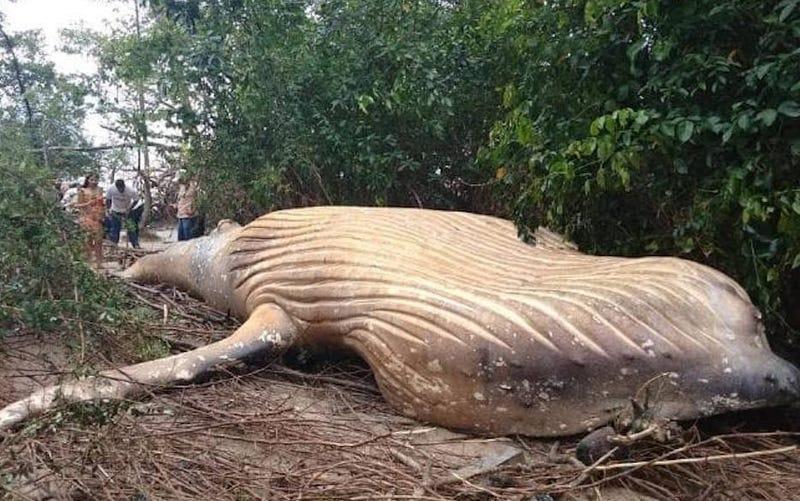 Illustration for article titled Hay una ballena muerta de ocho metros en la selva amazónica, y nadie sabe cómo llegó hasta allí