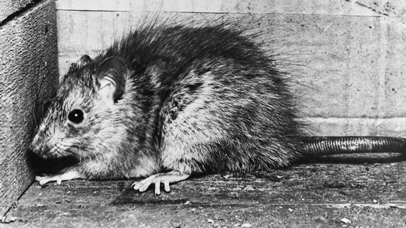 Illustration for article titled NY's Rats and Fleas Could Bring Back the Plague, Party Like It's 1346