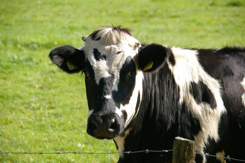 Illustration for article titled Researchers are Trying to Design a More Climate-Friendly Cow