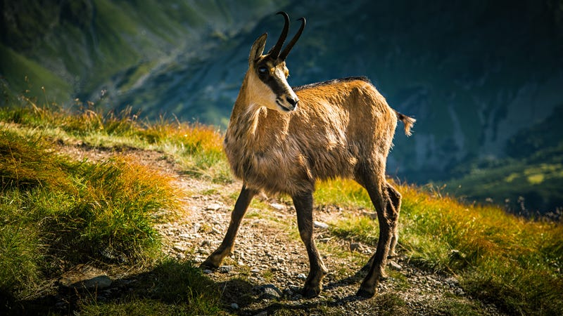 Chamois mountain goat in its natural habitat. Image: Shutterstock