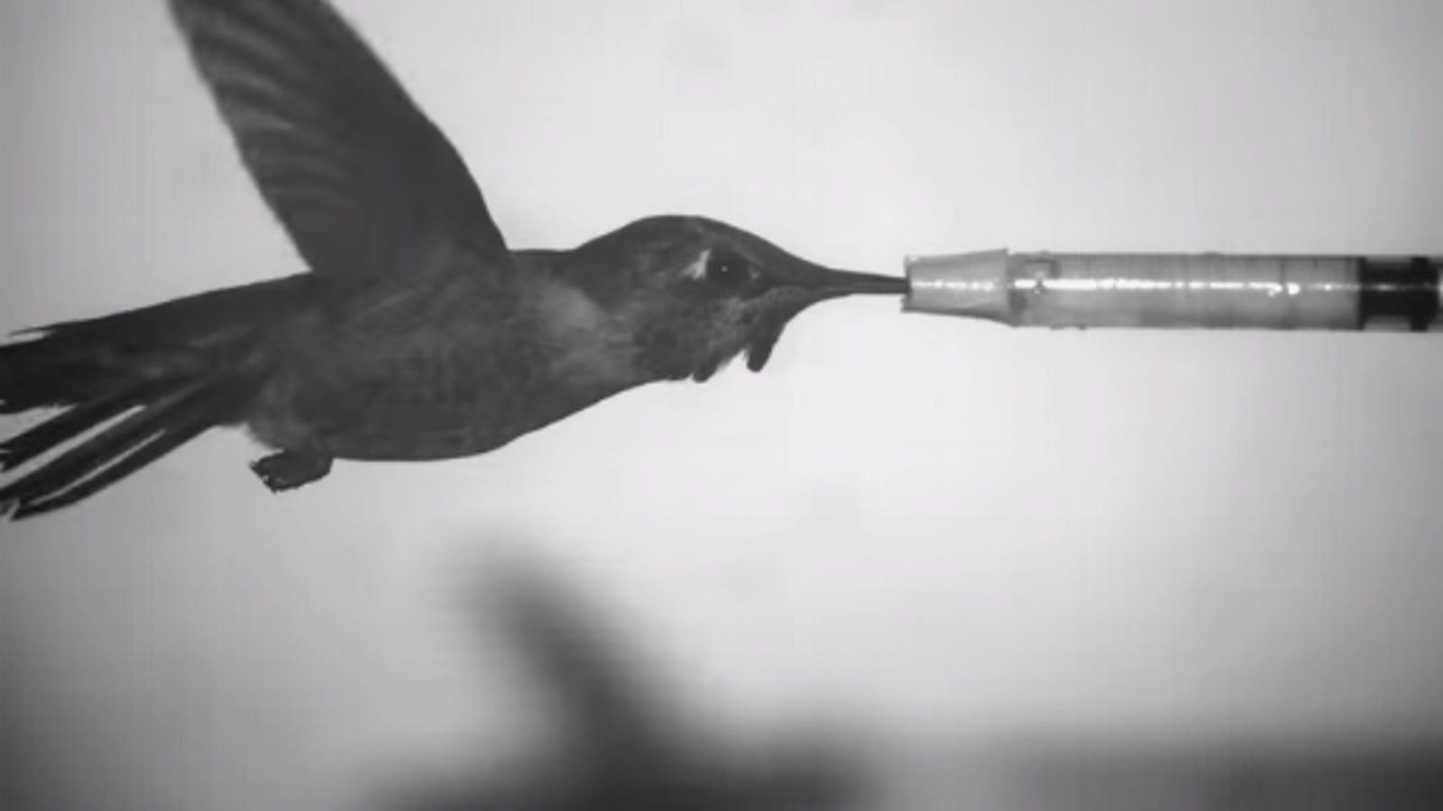 ¿Qué ocurre cuando un colibrí vuela en un túnel de viento?