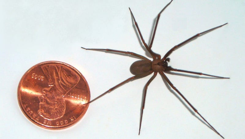 Image: Br-recluse-guy/Wikimedia Commons/Public Domain