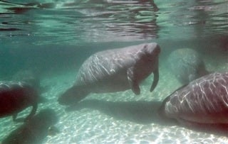 Illustration for article titled Manatee Released From Sea World After 27 Years