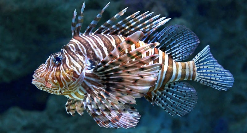 "The lionfish, a.k.a. ""Darwiin's nightmare,"" is upsetting the ecological balance in the Atlantic. (Image: Dennis Jacobsen/Shutterstock"