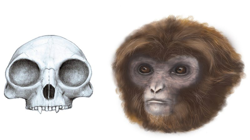 Illustration for article titled This Extinct Species is Changing What We Know About Early Ape Evolution