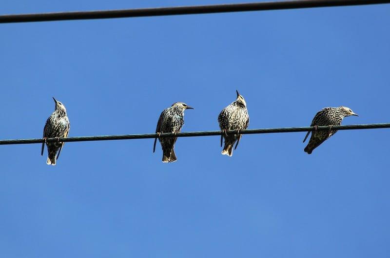Illustration for article titled Por qué los pájaros que se posan en las líneas eléctricas no se electrocutan