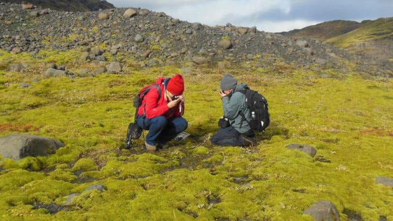 Early life on land looked similar to this lava field in Iceland, consisting of cyanobacteria, mosses, and lichens. (Image: Paul Kenrick)