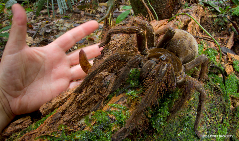 Illustration for article titled Researcher Who Found 'Puppy Sized Spider' Received Death Threats