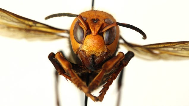 Great, Now Invasive  Murder Hornets  Are a Thing to Worry About