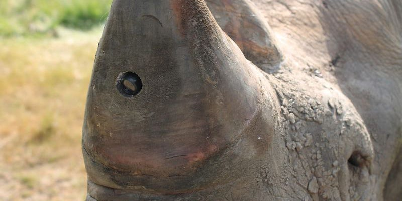 Illustration for article titled Why Does This Rhino Have a Camera in Its Horn?