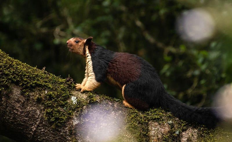 La ardilla gigante de La India tiene un pelaje muy particular