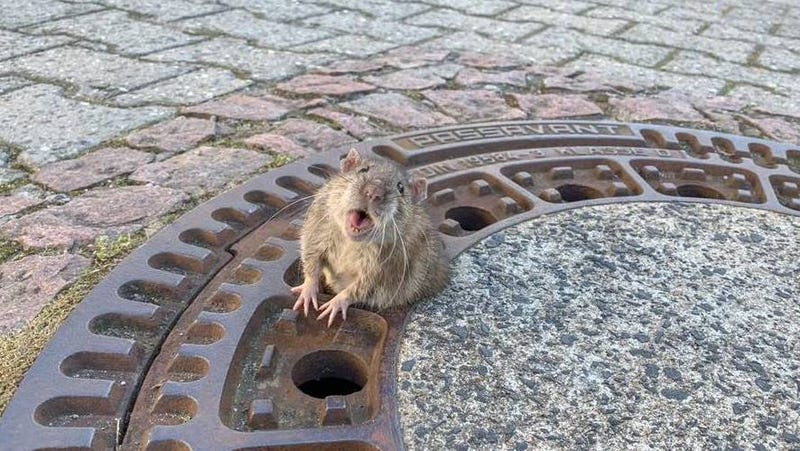 Illustration for article titled I'm That Fat Rat Who Got Stuck in a Manhole Cover. This Is My Story