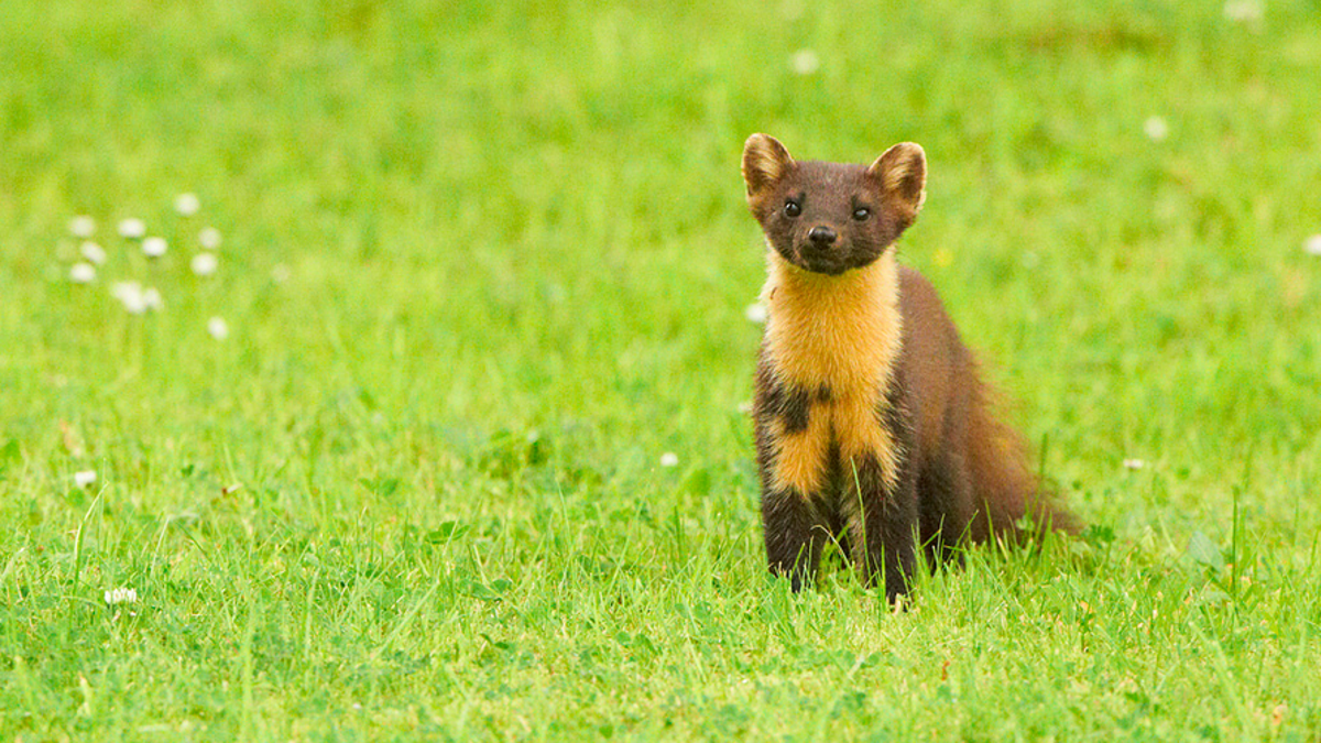 How Cute Ferret-Like Animals Cause Germany $65 Million In Car ...