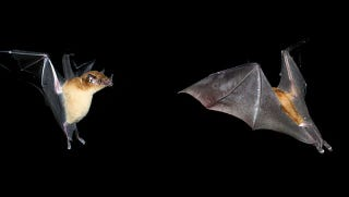 """Illustration for article titled This """"New"""" Species of Bat Has Been Sitting in Museums for a Century"""