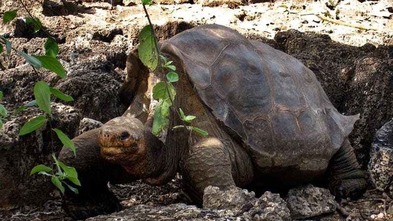 Illustration for article titled Lonesome George, the World's Last Pinta Giant Tortoise, Passes Away at 100