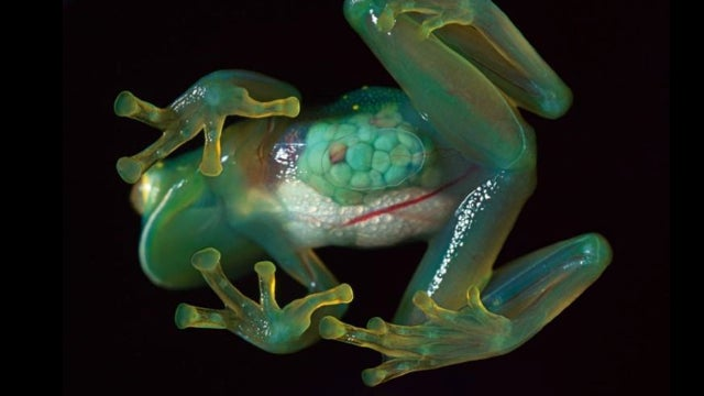 This Otherworldly Amphibian Has A Completely Transparent