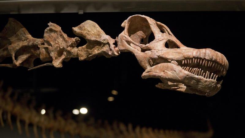 A replica of the newly described titanosaur at AMNH. (Image: AP)