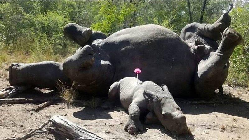 Illustration for article titled Rescatan a una cría de rinoceronte atacada a machetazos por cazadores furtivos al tratar de defender a su madre
