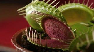 Can a venus flytrap digest human flesh?