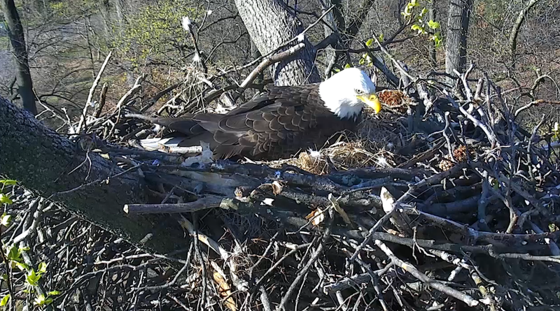 Illustration for article titled PSA: There's a Bald Eagle Hatching Out of Its Little Egg on a Live Cam Right Now