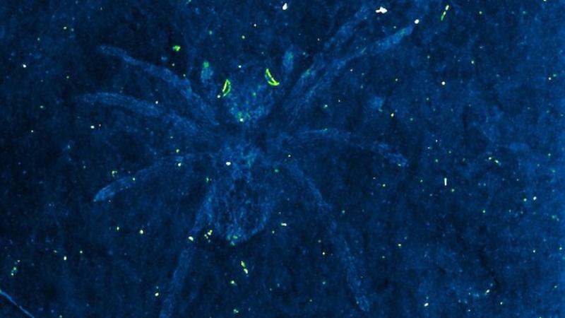 Illustration for article titled Los ojos de esta araña todavía brillan aunque murió hace más de 110 millones de años