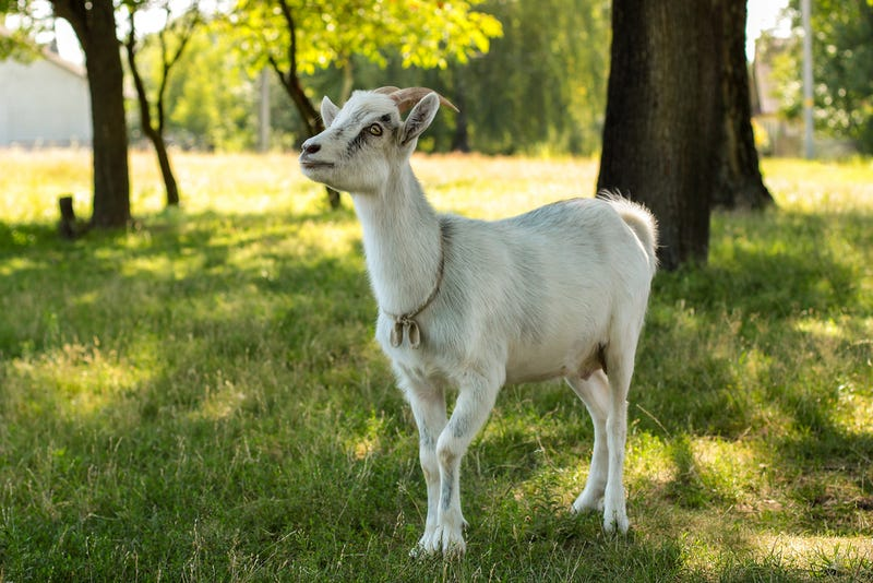 A goat, not caring for your grass; AnastasiaPash / Shutterstock