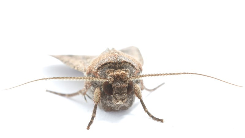 A bogong moth's brain is smaller than a grain of rice.